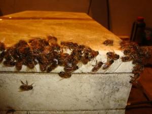 Le api dell'apicoltura Terra Fiorita