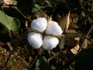 Una pianta di cotone
